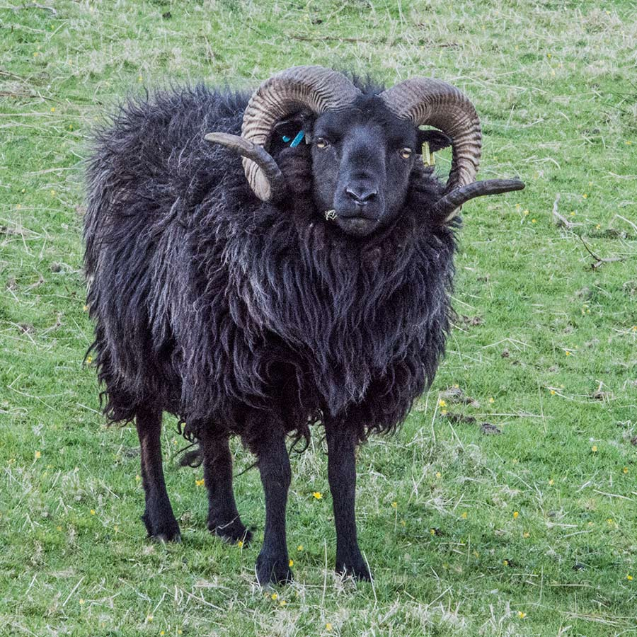 Ardalanish Mill, Isle of Mull, Hebridean Sheep