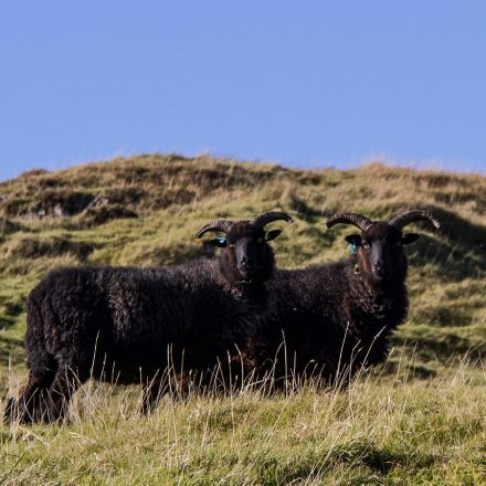Ardalanish Mill, Isle of Mull, Hebridean Sheep, skye
