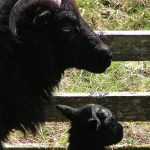 Ardalanish Mill, Isle of Mull, Sheep and lamb